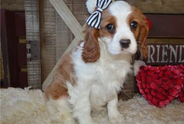 Female Cavalier King Charles Spaniel