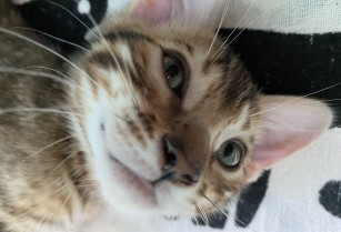 Bengal silver tabby male kitten and brown spotted tabby female