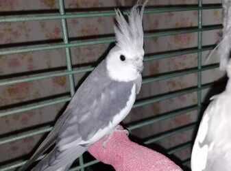 lovely,awesome  cockatiel for sale