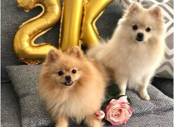 BEAUTIFUL POMERANIAN PUPPIES READY FOR NEW HOME